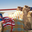 Stock Photo: Racing camels lying
