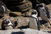 Jackass Penguins from Stoney Point, Western Cape, South Africa — Stock Photo