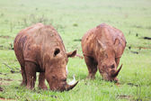 Two young rhinos feeding on fresh green grass in the Rietvlei Dam nature reserve, South Africa — Stock Photo