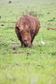 Young rhinoceros feeding on fresh green grass in the Rietvlei Dam nature reserve, South Africa — Stock Photo