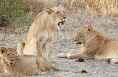 Lioness (Panthera Leo) lying down — Stock Photo