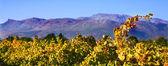 Jesienią liście winorośli w winnicach — Zdjęcie stockowe