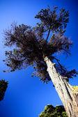 Wysokie drzewa przeciw błękitne niebo — Zdjęcie stockowe