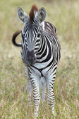 Young baby zebra standing alone in a grass field — Stock Photo