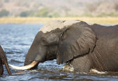 A herd of African elephants crossing the Chobe River in Botswana — Stock Photo