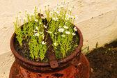 Białe kwiaty w doniczce zardzewiały — Zdjęcie stockowe