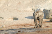 Large African elephant on the banks — Stock Photo