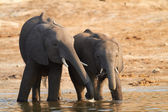Young and old elephants on the banks of the Chobe River in Botswana — Stock Photo