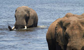 A herd of African elephants on the banks — Stock Photo