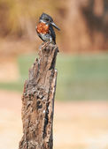 The lesser seen Giant Kingfisher male — Stock Photo