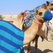 Stock Photo: Robot controlled camel racing in desert of Qatar, Middle East