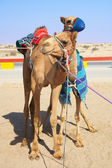 Robot controlled camel racing in the desert of Qatar, Middle East — Stock Photo