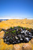 Cluster of young mussels — Stock Photo
