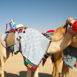 Stock Photo: Robot controlled camel racing in desert of Qatar,