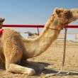 Robot controlled camel racing in the desert of Qatar, — 图库照片
