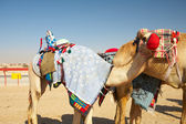 Robot controlled camel racing in the desert of Qatar, — ストック写真