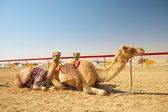 Robot controlled camel racing in the desert of Qatar, — Stock Photo