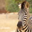 Zebras in zoo - Stock Photo