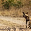 AfricWild Dogs — Stock Photo #24499433