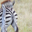 Zebra — Stock Photo #24501863