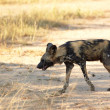 AfricWild Dogs — Stock Photo #24510735