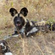 AfricWild Dogs — Stock Photo #24511163