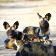 AfricWild Dogs — Stock Photo #24512957