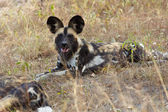 African Wild Dogs — Stock Photo