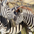 Zebra — Stock Photo #24529955