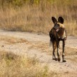 AfricWild Dogs — Stock Photo #24549593