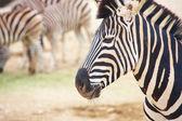Zebras in zoo — Stock Photo