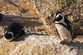 Jackass Penguin — Stock Photo