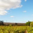 Western Cape vineyards — Stock Photo