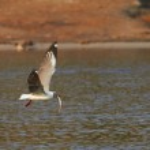 Grey Headed Gull — Stock Photo