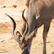 Greater Kudu — Stock Photo #26530055
