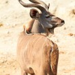 Stock Photo: Greater Kudu