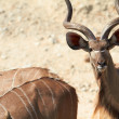 Greater Kudu — Stock Photo