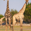 Stock Photo: AfricGiraffes