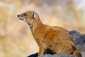 Yellow mongoose Cinyctis penicillata — Stock Photo