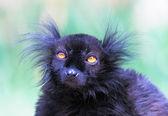 Black lemur — Stock Photo