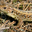 Portrait of lizard — Stock Photo