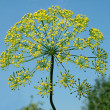 Yellow flowers of fennel. — Stock Photo