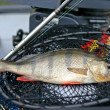 Fresh perch and fishing tackle — Stock Photo