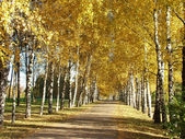 The autumn birch alley in old park — Stock Photo