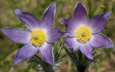 Pulsatilla patens (Eastern pasqueflower, prairie smoke, prairie crocus, and cutleaf anemone) — Stock Photo