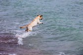 Dog jumps on the waves — Stockfoto