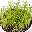 Close up of fresh green spring wheat in a pot — Stock Photo