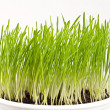 Stock Photo: Fresh green spring wheat in pot