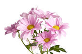 Bunch of pink daisy flowers on white background — Stock Photo