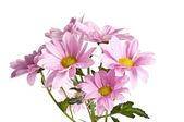 Bouquet de fleurs de marguerite rose sur fond blanc — Photo